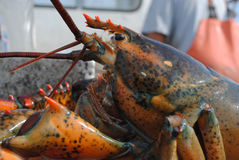 Maine Lobster Stock Images