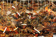 Maine lobsters Stock Photography