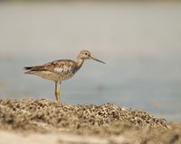 Maine Sandpiper Royalty Free Stock Photo
