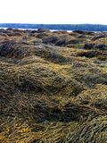 Maine seaweed coast Royalty Free Stock Photography
