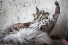 Maine-wasbeer op lichtgrijze achtergrond Royalty-vrije Stock Fotografie