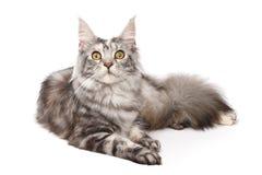 Maine-Waschbär Katze Stockbilder