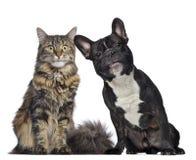 Maine-Waschbär und französische Bulldogge, die neben einander sitzen Stockfoto