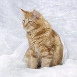 Maine Coon-Kätzchen Stockfoto