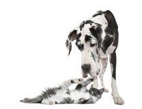 Maine-Waschbärkätzchen, das mit einer Harlekin Deutschen Dogge spielt lizenzfreie stockfotografie