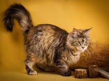 Maine-Waschbärkatze der getigerten Katze auf gelbem Hintergrund Stockbilder