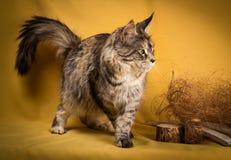 Maine-Waschbärkatze der getigerten Katze auf gelbem Hintergrund Lizenzfreie Stockfotografie