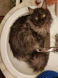 Mainecoon. In the bath Stock Photos