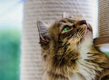 Mainecoon being curious Royalty Free Stock Images