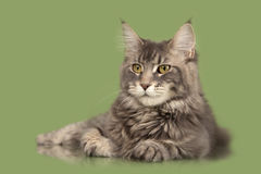 Mainecoon cat. Young Maine Coon cat  over green background Stock Images