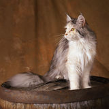 Mainecoon cat. A white and blue mainecoon standing on top of an old wood barrel, studio shot against a caramel colored backdrop Royalty Free Stock Photography