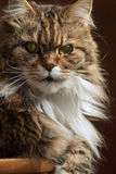 Mainecoon headshot. Close-up shot of a tabby maine coon cat head , big face wiyh wide open green eyes Stock Image