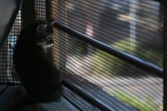 Mainecoon kattunge som beskådar hans värld Arkivbild
