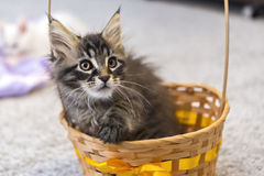 Mainecoon kitten in basket Royalty Free Stock Photography