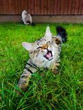 Mainecoon kitten playing with grass in the garden. Kitten pouncing on grass with open mouth looking at camera Stock Photography