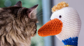 Mainecoon looking at crochet duck Stock Image