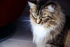 Mainecoon looking looking down Stock Photos