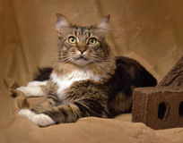 Mainecoon. One mainecoon lyng on a caramel colored backdrop with a slighly frightened look Stock Photo