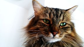Mainecoon portrait Royalty Free Stock Images