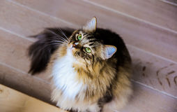 Mainecoon sitting on wooden floor Royalty Free Stock Images
