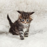Mainecoon small kitty on wthie background Royalty Free Stock Images