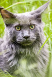 Mainecoon Stock Photo