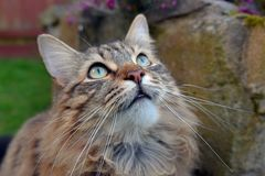 MAINECOON TABBY BIRD WATCHING OUTDOORS. Royalty Free Stock Photography