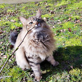 Mainecoon tabby lynx. Cat sitting on grass in the garden playing with a twig stick Stock Image