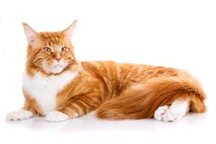 Mainecoon thoroughbred cat on a white background. Purebred cat. Well-groomed kitten. Pet, comfort and calm concept. Not look at the camera Stock Photos