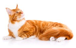 Mainecoon thoroughbred cat on a white background. Purebred cat. Well-groomed kitten. Pet, comfort and calm concept. Not look at the camera Stock Photography