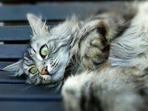 mainkun猫在长凳说谎 图库摄影