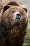 Mainland grizzly (Ursus arctos horribilis). Royalty Free Stock Photo