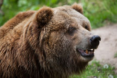 Mainland grizzly (Ursus arctos horribilis). Royalty Free Stock Image