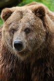 Mainland grizzly (Ursus arctos horribilis). Stock Photography
