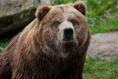 Mainland grizzly (Ursus arctos horribilis). Royalty Free Stock Photos