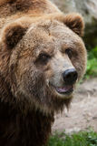 Mainland grizzly (Ursus arctos horribilis). Royalty Free Stock Images