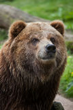 Mainland grizzly (Ursus arctos horribilis). Royalty Free Stock Photography
