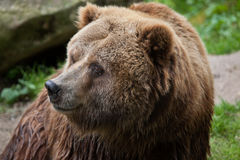 Mainland grizzly (Ursus arctos horribilis). Wildlife animal Stock Photo