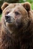Mainland grizzly (Ursus arctos horribilis). Stock Photos