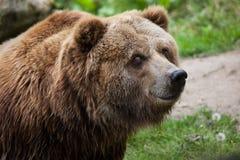 Mainland grizzly (Ursus arctos horribilis). Stock Image