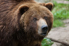 Mainland grizzly (Ursus arctos horribilis). Wildlife animal Stock Photos