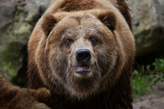 Mainland grizzly (Ursus arctos horribilis). Wildlife animal Stock Image