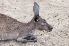 Western grey kangaroo Macropus fuliginosus melanops Royalty Free Stock Photo