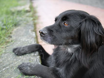 Mainly black dog watching lizards. Setter cross. Stock Image