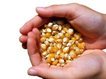 Mains avec le maïs Photographie stock libre de droits