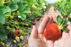 Mains avec le plan rapproché de fraise Photo stock