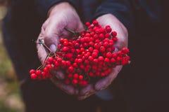 Mains avec les baies de sorbe mûres rouges Image libre de droits