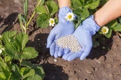 Mains d'agriculteur dans les gants en caoutchouc donnant l'engrais chimique à de jeunes buissons de fraise photographie stock