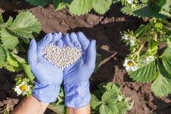 Mains d'agriculteur dans les gants en caoutchouc donnant l'engrais chimique au youn image libre de droits