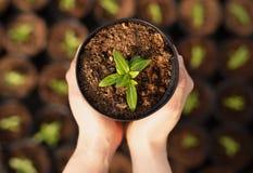 Mains d'agriculteur de culture avec la pousse mise en pot photographie stock